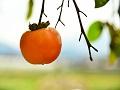 医者も真っ青?旬の「柿」に含まれる優れた栄養とその効果